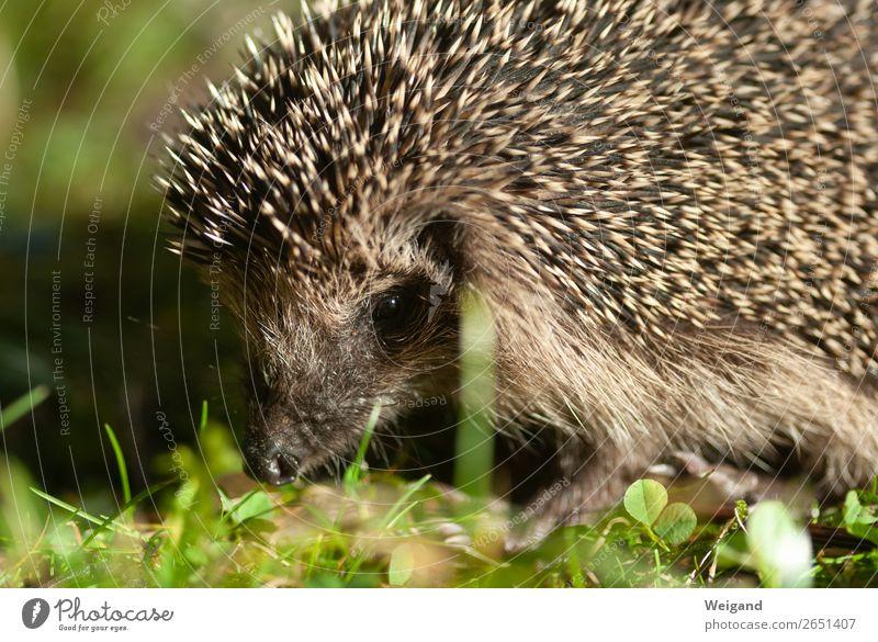 hedgehogs Environment Nature Animal Garden Park Meadow Farm animal Hedgehog 1 Walking Colour photo Blur