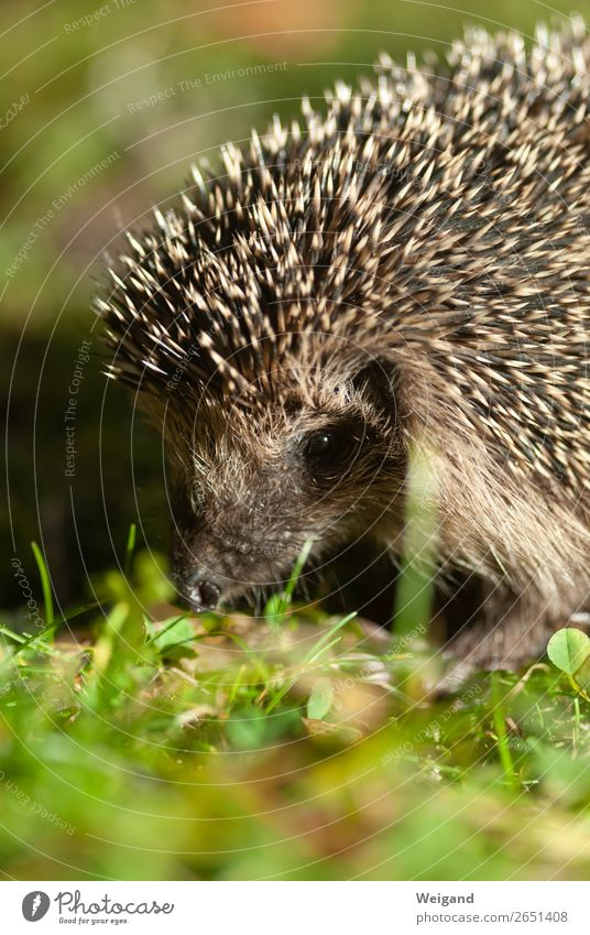 hedgehogs Eating Science & Research Kindergarten Environment Nature Animal Hedgehog 1 Feeding Autumn Spine Colour photo Copy Space bottom Shallow depth of field