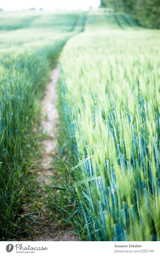 Plant Field Growth Bushes Hill Grain Agriculture Cornfield Ear of corn Grain field Agricultural crop Crops