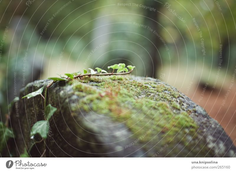 climber Environment Nature Plant Moss Ivy Leaf Garden Park Cemetery Stone Growth Calm Stagnating Tombstone Colour photo Subdued colour Exterior shot Close-up