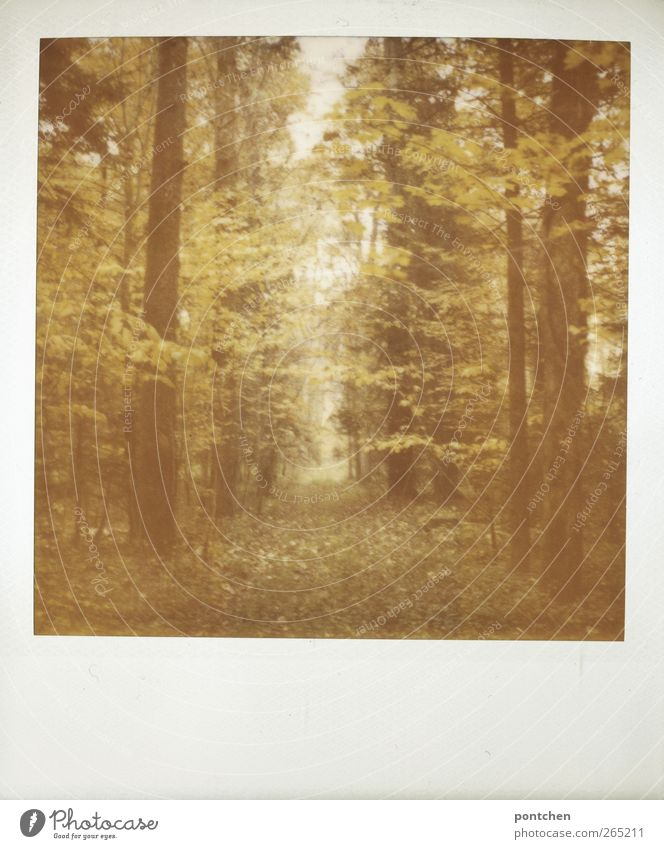 Polaroid. Forest in autumn. Nature, trees. forest path Environment Autumn conceit flaked Tree trunk Colour photo Subdued colour Exterior shot