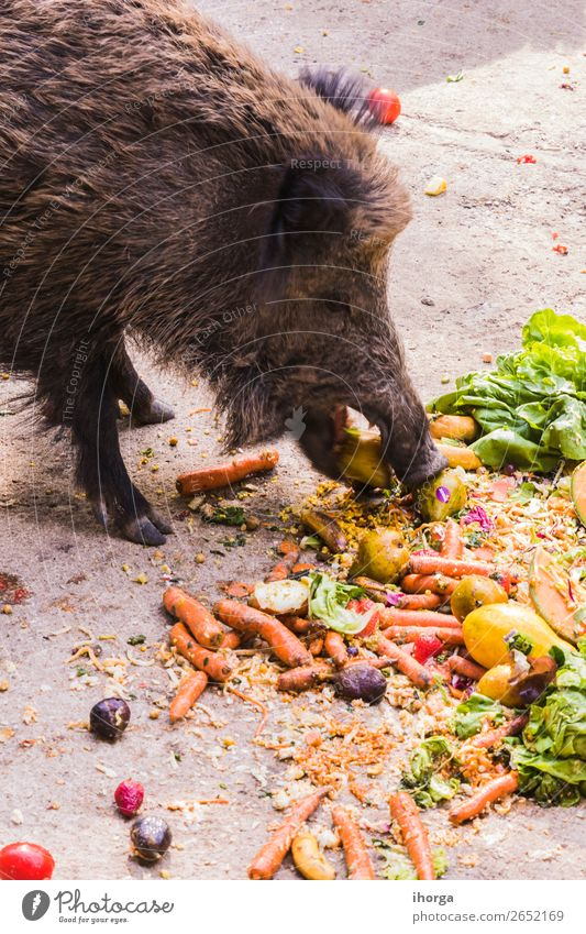 several jabalies eating fruits and vegetables Vegetable Fruit Eating Hunting Environment Nature Animal Autumn Tree Forest Fur coat Farm animal Wild animal 1