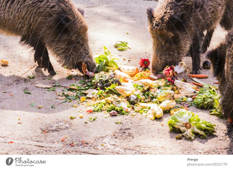 several jabalies eating fruits and vegetables Vegetable Fruit Eating Hunting Environment Nature Animal Autumn Forest Fur coat Farm animal Wild animal 2 Dark