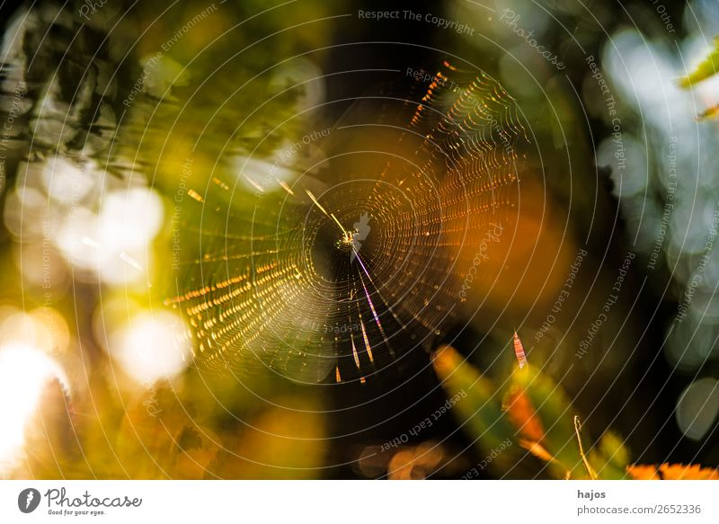 Spider's web in autumn against the light Nature Yellow Idyll bike net Net Brilliant Back-light Autumnal golden variegated soft colours luminescent reflections