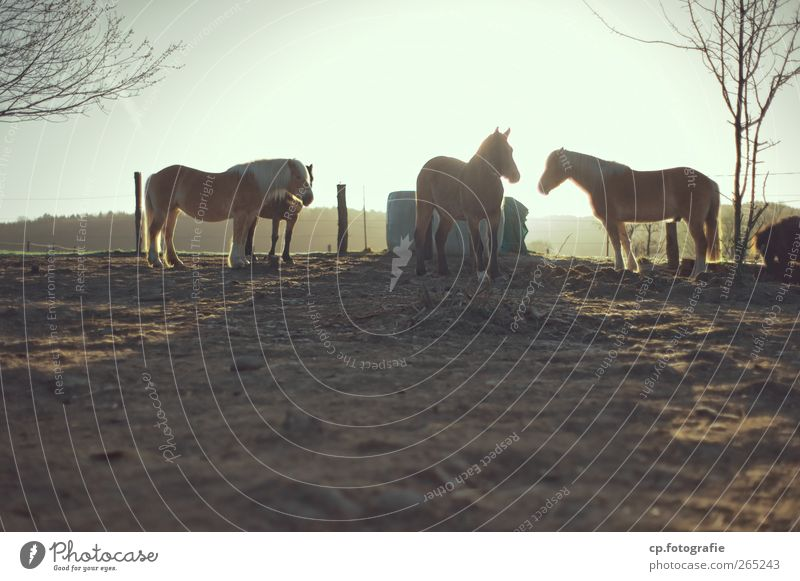 Tree Sun Winter Spring Group of animals Horse Fence
