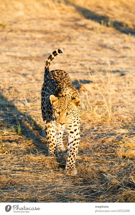 Leopard #10 Tourism Safari Nature Animal Wild animal Observe Walking Dangerous Africa Panther Namibia Big cat eye contact Cat lurked leopard skin portrait