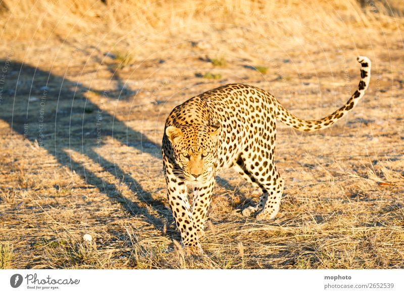 Leopard #9 Tourism Safari Nature Animal Wild animal Observe Walking Dangerous Africa Panther Namibia Big cat eye contact Cat lurked leopard skin portrait