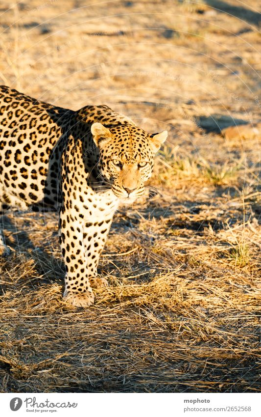Leopard #8 Tourism Safari Nature Animal Wild animal Observe Dangerous Africa Panther Namibia Big cat eye contact Cat lurked leopard skin portrait
