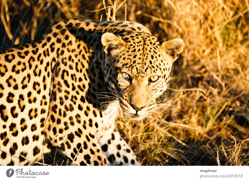 Leopard #7 Tourism Safari Nature Animal Wild animal Observe Sit Dangerous Africa Panther Namibia Big cat eye contact Cat lurked leopard skin portrait