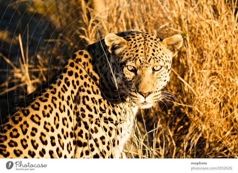 Leopard #6 Tourism Safari Nature Animal Wild animal Observe Sit Dangerous Africa Panther Namibia Big cat eye contact Cat lurked leopard skin portrait