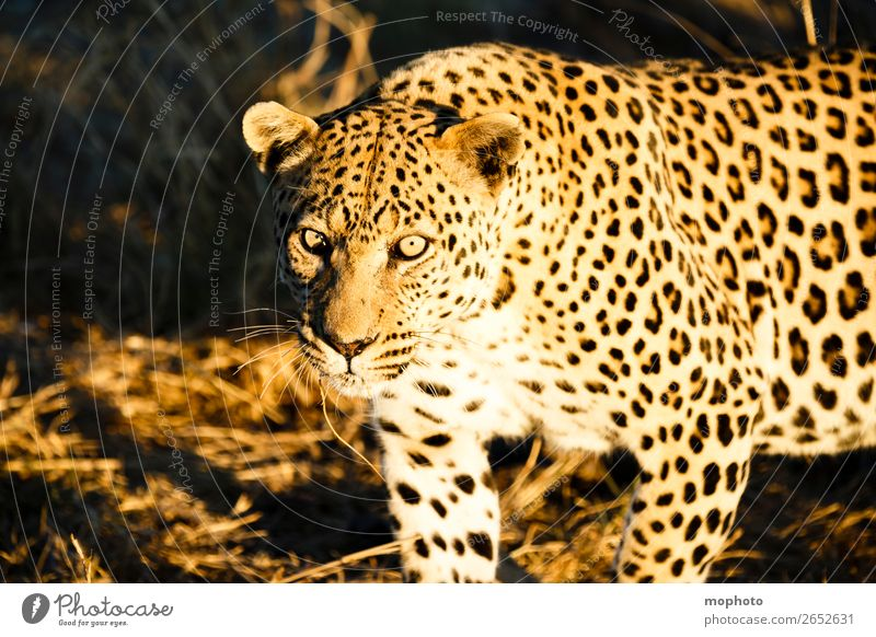 Leopard #5 Tourism Safari Nature Animal Wild animal Observe Dangerous Africa Panther Namibia Big cat eye contact Cat lurked leopard skin portrait