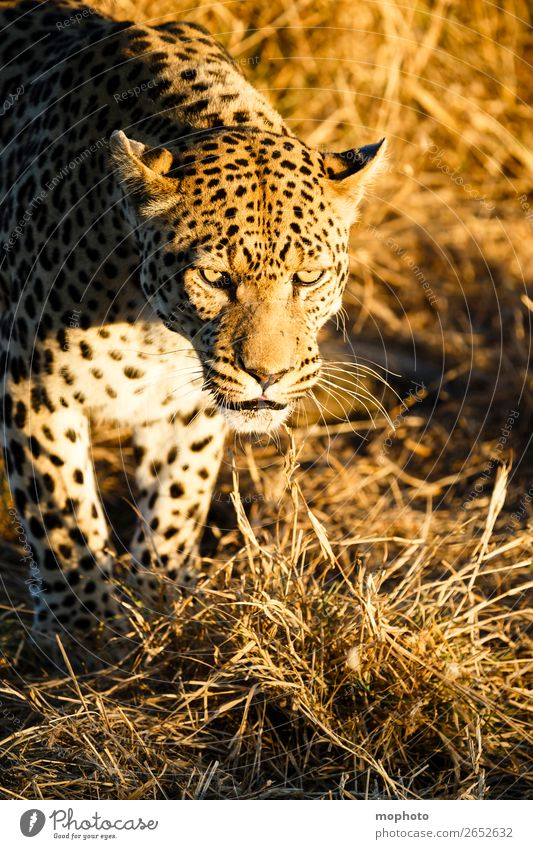 Leopard #4 Tourism Safari Nature Animal Wild animal Observe Sit Dangerous Africa Panther Namibia Big cat eye contact Cat lurked leopard skin portrait