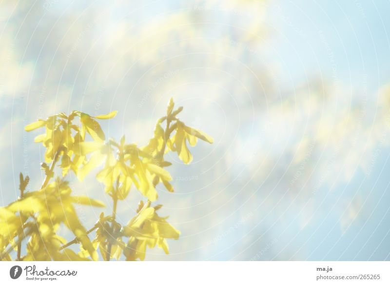 Sky Nature Blue Plant Yellow Environment Spring Air Bushes Beautiful weather Forsythia