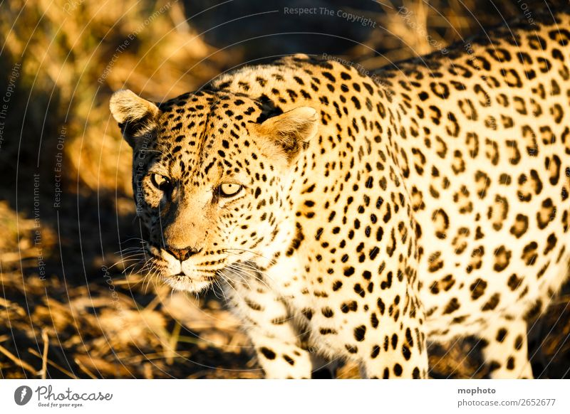 Leopard #3 Tourism Safari Nature Animal Namibia Wild animal Animal face Panther 1 Observe Dangerous Threat Vacation & Travel Africa Big cat eye contact Cat
