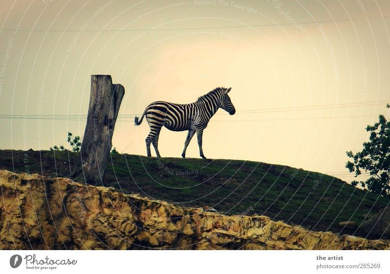 Nature Animal Stand Zoo Pride Zebra