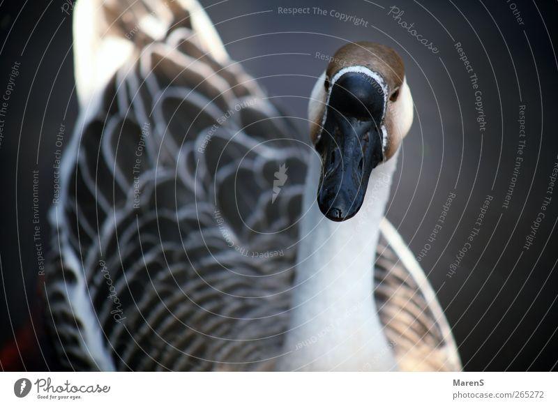 Nature White Animal Gray Happy Brown Swimming & Bathing Wild animal Free Wing Friendliness Goose