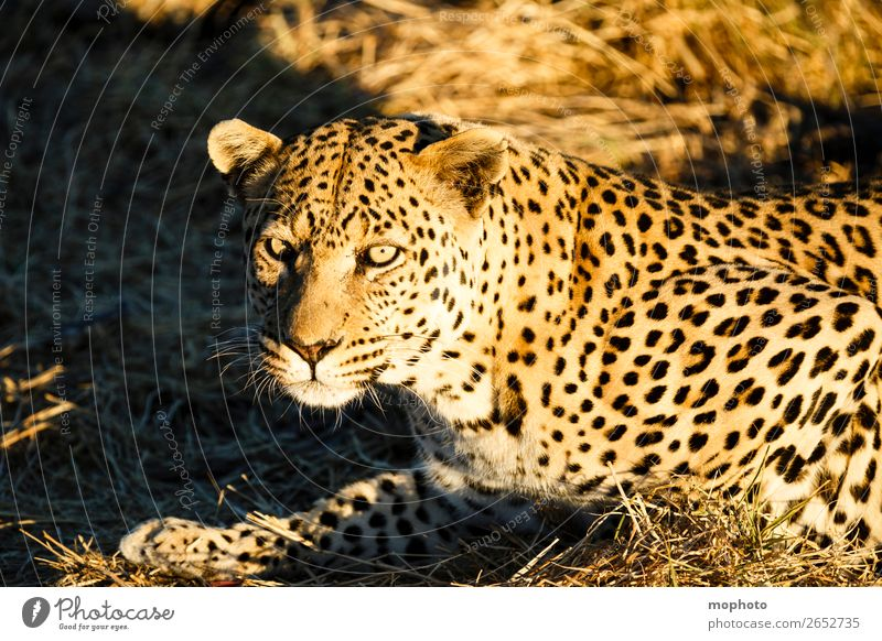 Leopard #2 Tourism Safari Nature Animal Grass Wild animal Animal face Panther 1 Observe Lie Dangerous Threat Africa Namibia Big cat rest eye contact Cat lurked