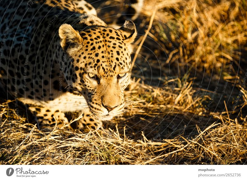 Leopard #1 Tourism Safari Nature Animal Grass Wild animal Animal face Panther Observe Lie Dangerous Threat Africa Namibia Big cat rest eye contact Cat lurked