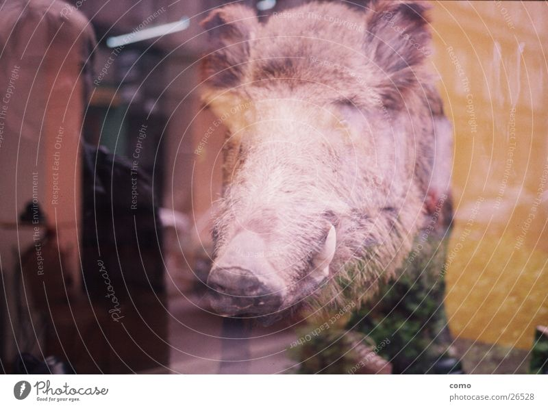 hunting licence for mirror pigs Mirror image Wild boar Shop window Reflection Dead animal Stuffed animal Head Animalistic