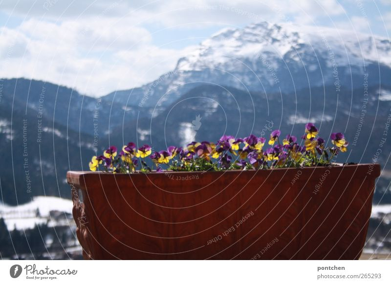 Flower Clouds Yellow Mountain Tall Large Alps Violet Peak Flowerpot Trough Cyclamen