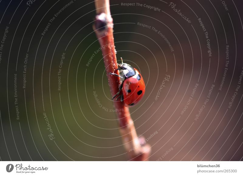 From now on geht´s steep uphill!!! Nature Spring Summer Animal Beetle Ladybird 1 Sign Good luck charm Esthetic Happy Positive Red Emotions Happiness