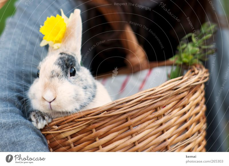 Nature Flower Animal Yellow Easter Cute Animal face Hare & Rabbit & Bunny Pet Paw Basket Easter Bunny Hare ears Wicker basket Pygmy rabbit