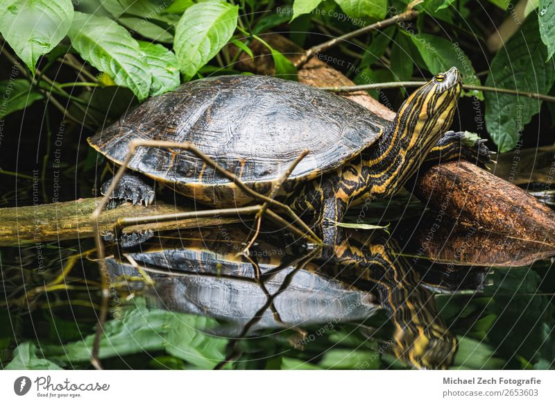 trachemys scripta yellow slider turtle at water Nature White Animal Small Wild Park Living thing Pet Exotic Shield Pond Aquarium Reptiles World heritage Shell