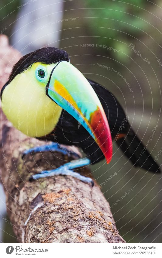 Closeup of a beautiful and colorful keel billed toucan Exotic Beautiful Life Environment Nature Animal Virgin forest Bird Bright Long Natural Wild Yellow Green