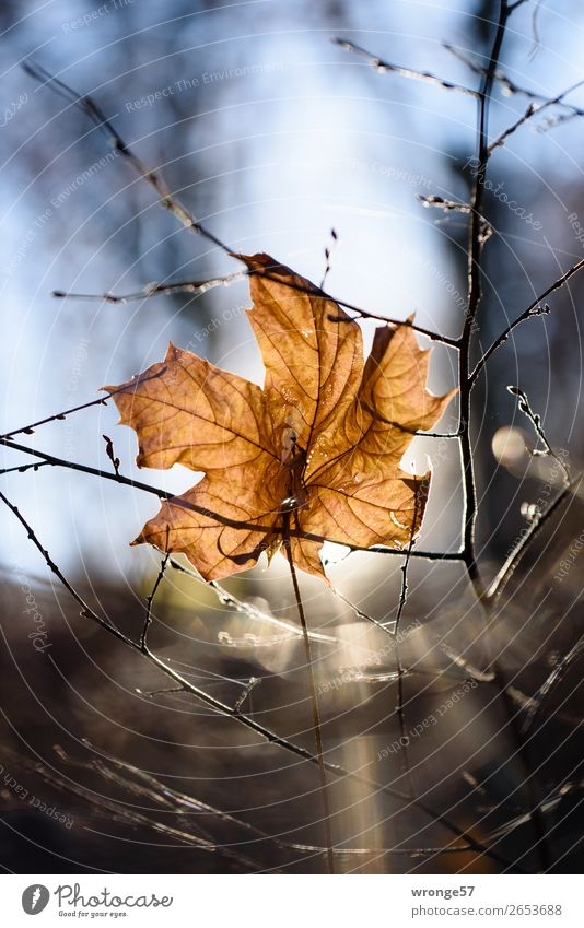 Sheet in backlight Nature Plant Autumn Winter Beautiful weather Bushes Leaf Forest Hang Old Dry Blue Brown Black Underside of a leaf Shriveled Autumn leaves