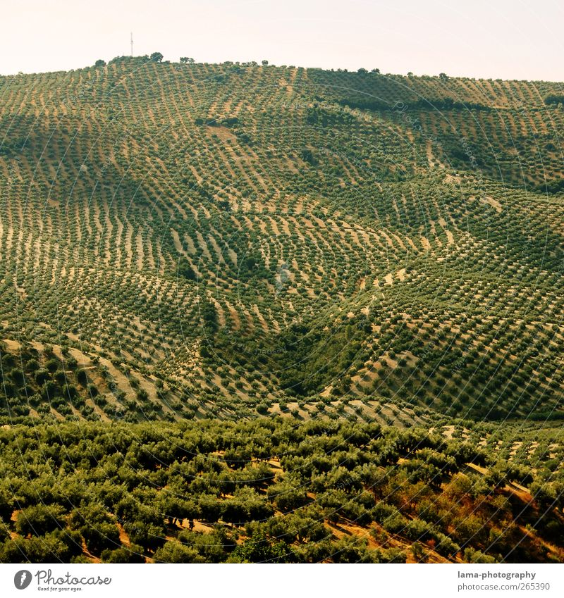 Fruits of the South [XXXVI] Olive Agriculture Forestry Landscape Plant Tree Agricultural crop Olive tree Olive grove Olive harvest Sierra Subbetica Cordoba