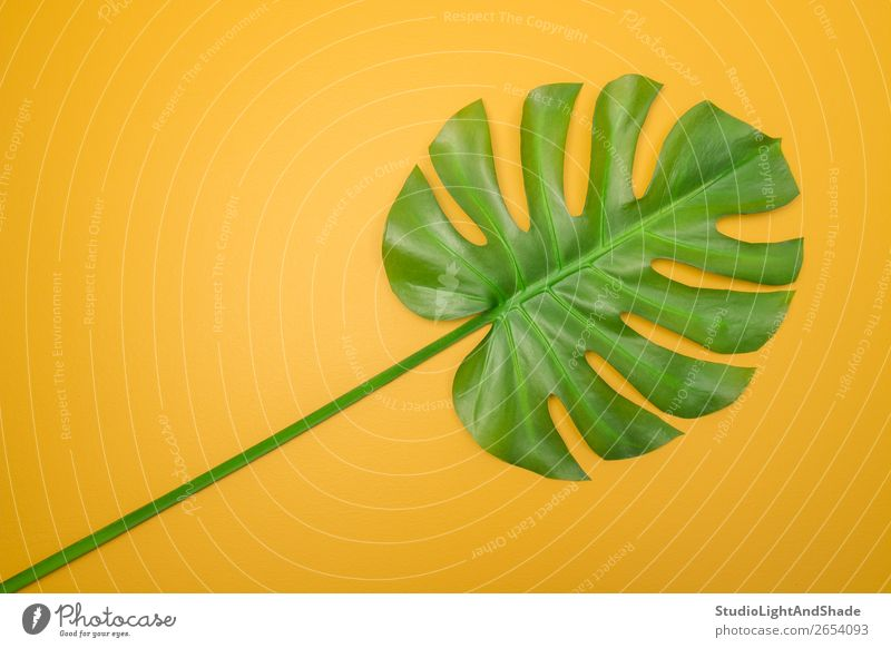 Beautiful green Monstera leaf on yellow background Design Exotic Joy Happy Summer Interior design Decoration Gardening Nature Plant Leaf Simple Fresh Bright