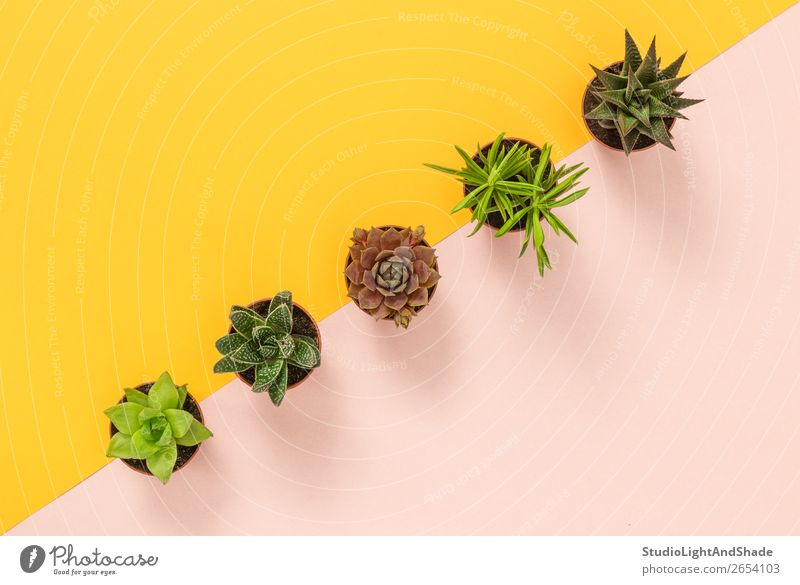 Succulent plants on yellow and pink background Pot Design Exotic Beautiful Summer Interior design Decoration Gardening Nature Plant Cactus Line Growth Simple