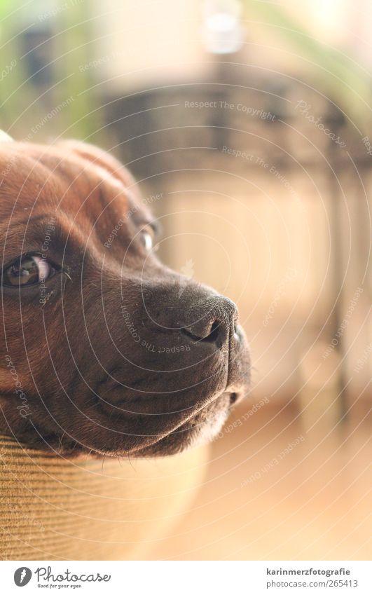 Dog Calm Contentment Lie Sleep Pet Dreamily Puppy