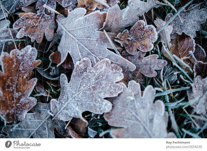 Frozen oak leaves on ground autumn beautiful botany brown chilly close-up closeup cold color december environment fall flora foliage frost frosty frozen