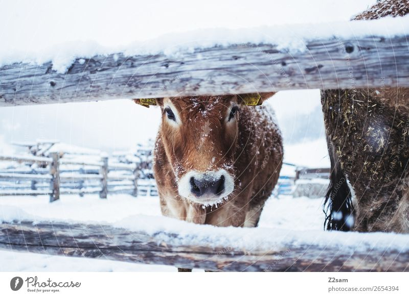 Calf in winter Nature Landscape Winter Ice Frost Snow Cow Looking Stand Cold Cute Idyll Climate Life Sustainability Perspective Environment