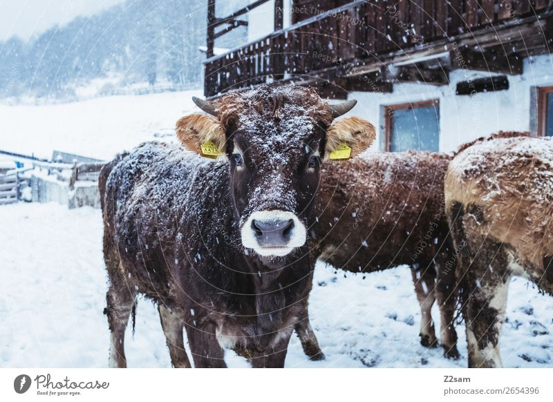 Calf in winter Nature Landscape Winter Bad weather Snow Cow Herd Looking Stand Natural Cute Contentment Curiosity Interest Vacation & Travel Serene Society
