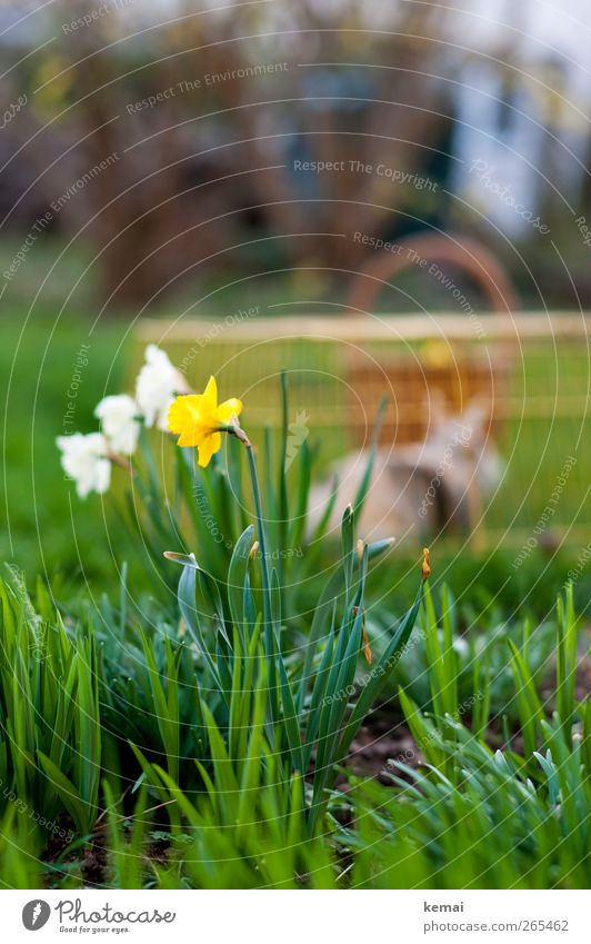 Easter will be back Environment Nature Landscape Plant Spring Beautiful weather Flower Grass Leaf Blossom Foliage plant Wild daffodil Garden Pet