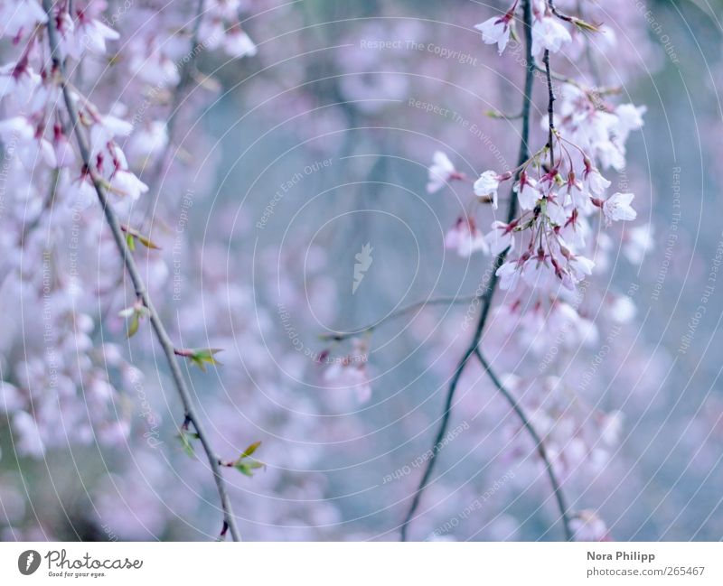 Nature Blue Tree Plant Leaf Spring Garden Blossom Park Pink Beginning Esthetic Growth Bushes Branch Idyll