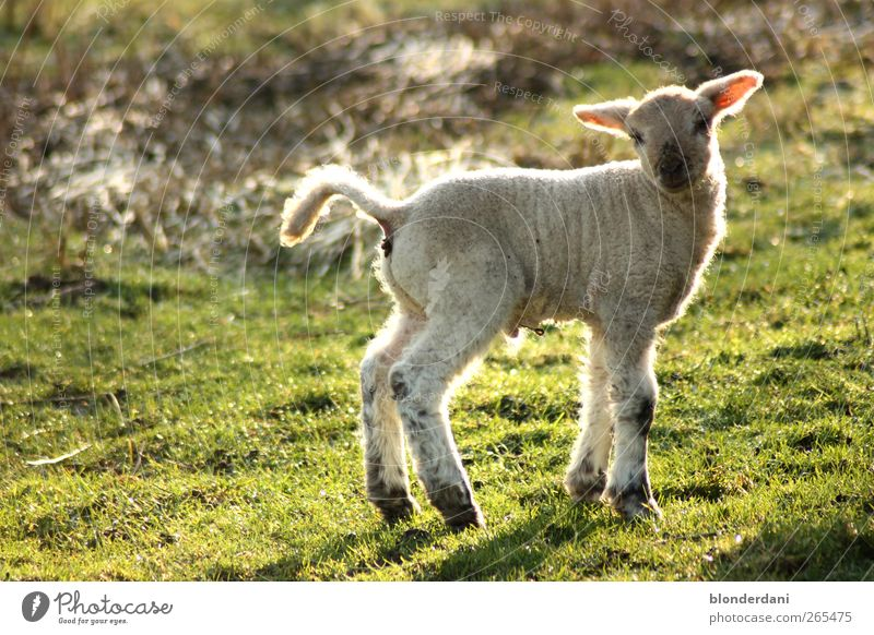 """""""Dolly"""" Sausage Hair and hairstyles Athletic Environment Spring Meadow Field White-haired Pet Farm animal Sheep Lamb 1 Animal Baby animal Stand Cuddly Thin"""