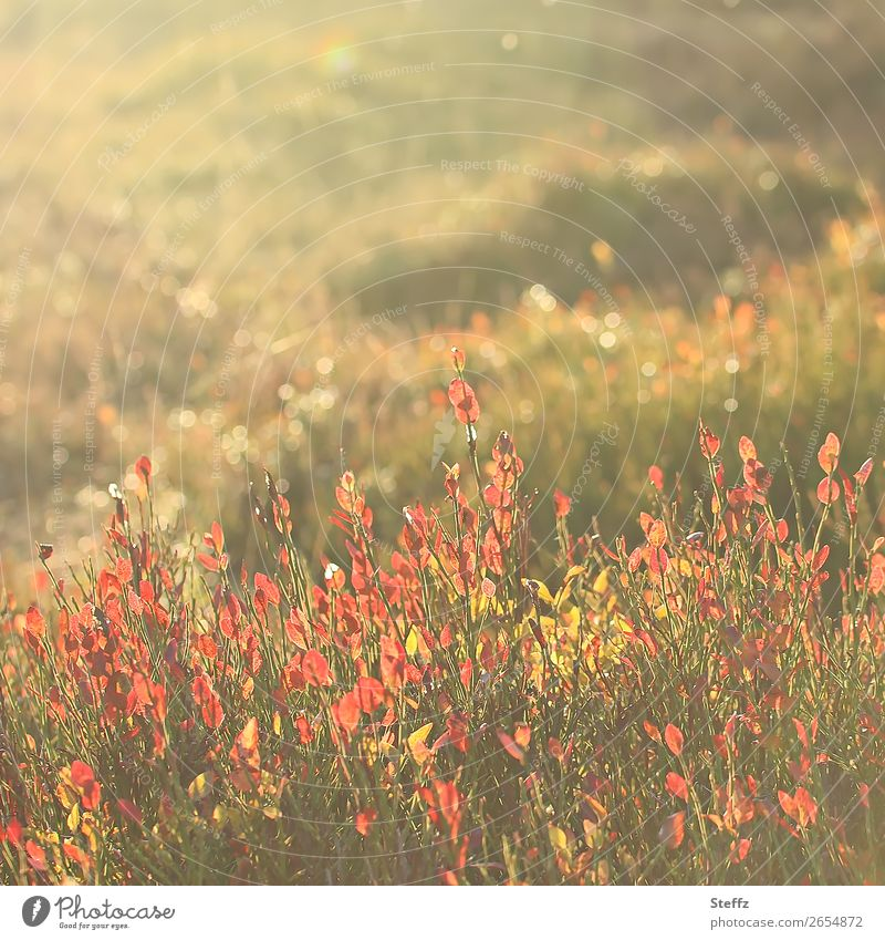 November vibes Nature Landscape Plant Autumn Beautiful weather Bushes Wild plant Meadow Heathland Glittering Yellow Green Orange Mood lighting Sense of Autumn