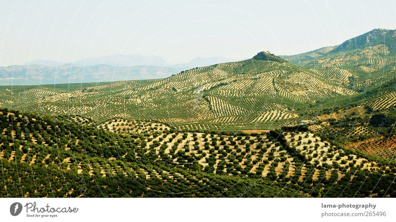Sierra Subbética [XXXVII] Olive Olive oil Agriculture Forestry Nature Landscape Tree Agricultural crop Olive tree Field Hill Olive grove Olive harvest Cordoba