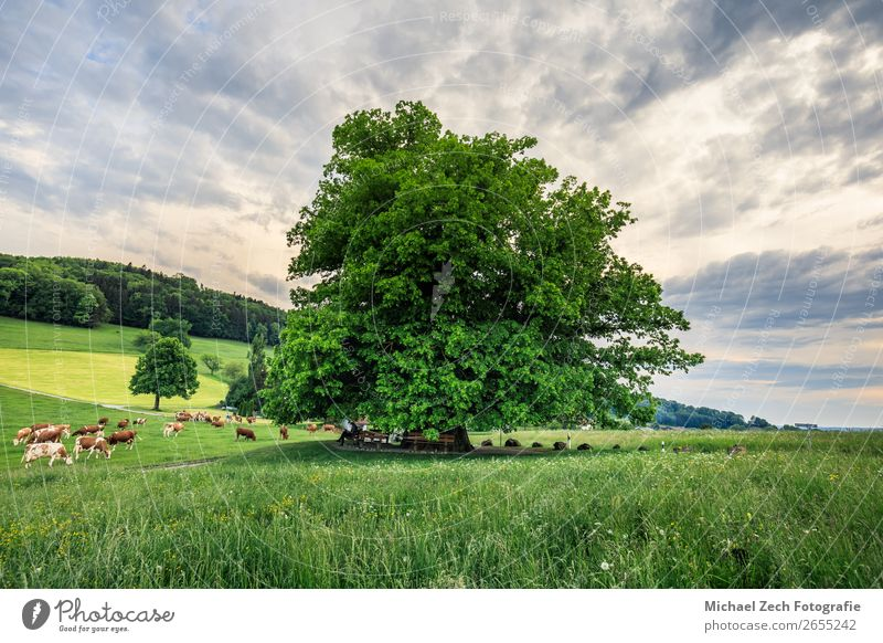 Amazing old linden tree under spectacular sky hdr Beautiful Summer Sun Nature Landscape Plant Sky Clouds Tree Grass Leaf Meadow Street Lanes & trails Old Fresh