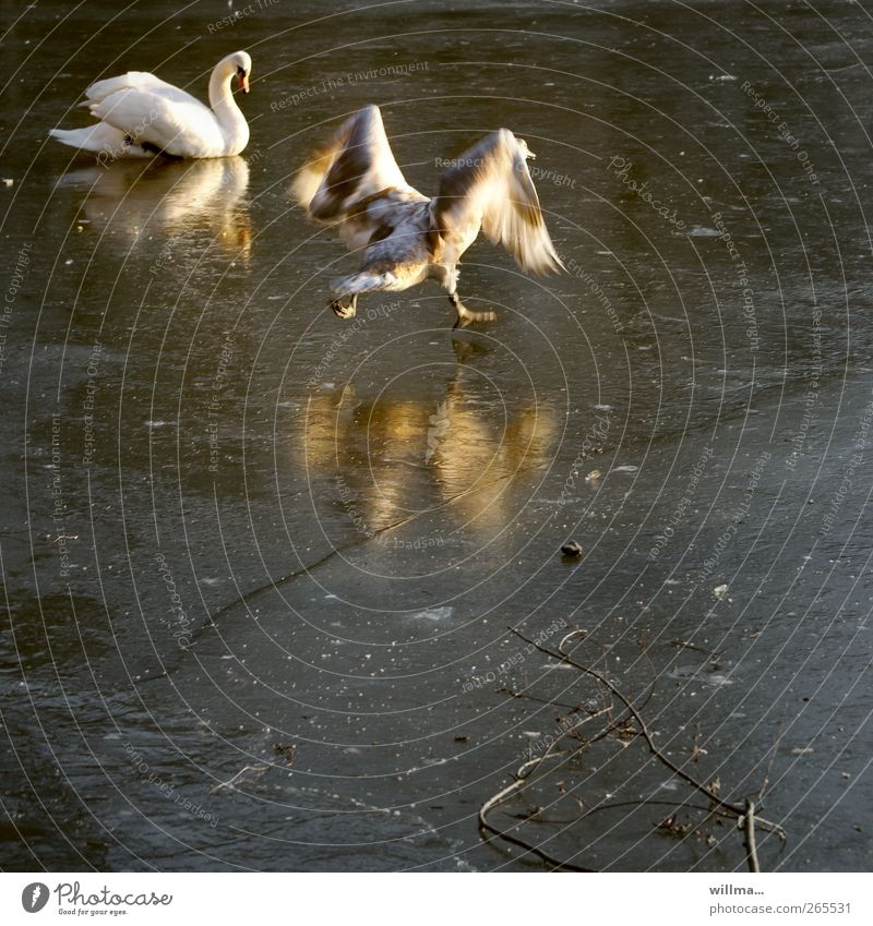 Winter Animal Movement Lake Funny Baby animal Ice Flying Beginning Frost Wing Frozen Running Departure Attempt Pond