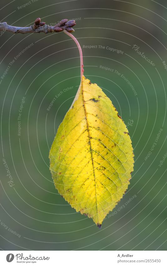 autumn leaf Nature Plant Autumn Leaf Foliage plant Agricultural crop Wild plant Branch Twigs and branches Garden Park Forest Hang Near Yellow Green Rachis