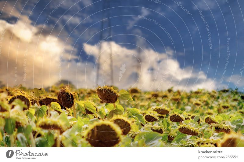 Tuscany Room Nature Landscape Sky Clouds Storm clouds Horizon Summer Plant Sunflower Warmth Blue Yellow Sunflower field Leaf Green Electricity pylon Italy