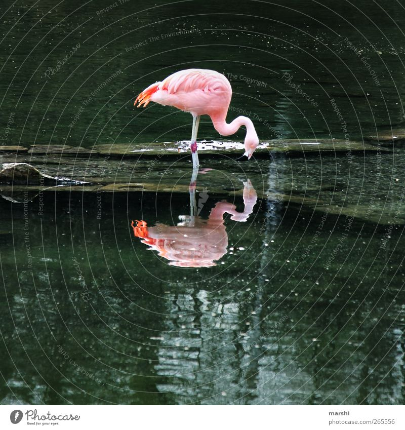 FlamingoDouble Nature Landscape Plant Animal Park Coast Lake Brook Zoo 1 Pink Surface of water Reflection To feed In pairs Colour photo Exterior shot Day