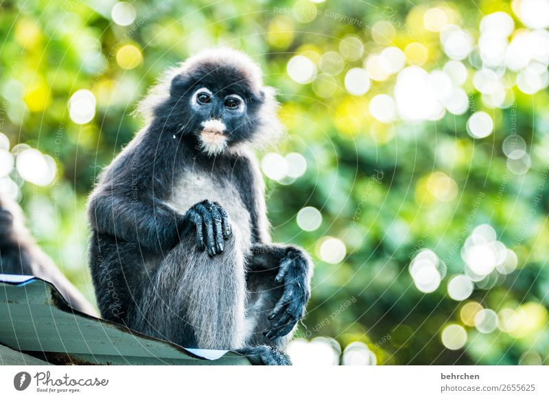have a monkey's life Vacation & Travel Tourism Trip Adventure Far-off places Freedom Virgin forest Wild animal Animal face Pelt Monkeys spectacle langurs 1