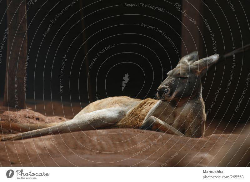 chillout Vacation & Travel Adventure Safari Earth Sand Animal Animal face Pelt Paw Zoo Kangaroo 1 Stone Breathe Think Relaxation To enjoy Lie Sleep Dream