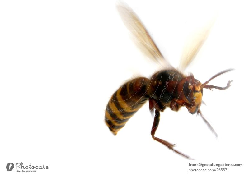 hornet Hornet Wasps Insect Dangerous Pierce Macro (Extreme close-up) Close-up Threat Poison Aviation Wing agressive Movement
