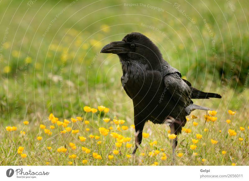 Black crow surrounded of yellow flowers Nature Animal Flower Park Dead animal Bird Observe Flying Stand Dark Bright Wild Yellow Crow raven wildlife Beak avian